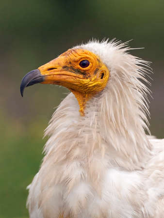 scavenger: Closeup portrait of the Egyptian vulture with vegetation in the background
