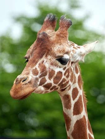 reticulated giraffe: Closeup portrait of the reticulated giraffe with vegetation in the background Stock Photo