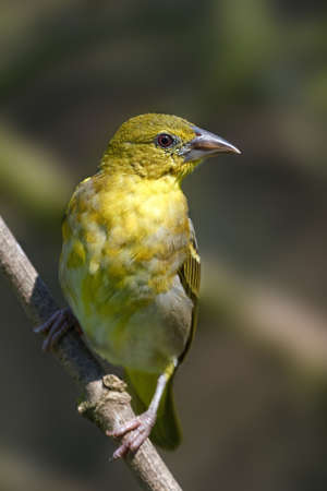 Village weaver resting on a branch with vegetation in the background