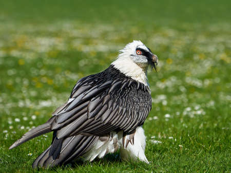 Bearded vulture istanding in grass in its habitat Stock Photo
