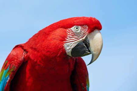 Closeup portrait of the green-winged macaw with blue skies in the background Stock Photo