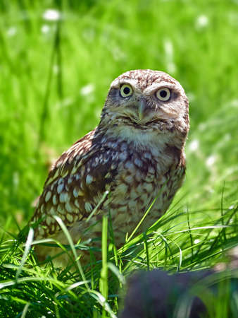 raptors: Burrowing owl sitting on the ground in grass Stock Photo