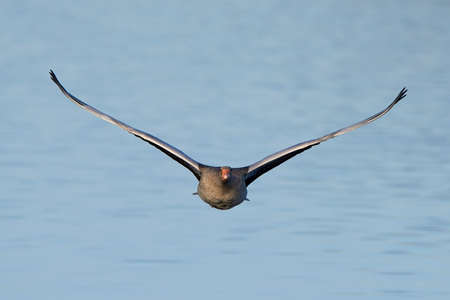greylag: Greylag goose in flight seen from the fron with water in the background Stock Photo