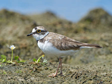 plover: Little ringed plover looking for food in its habitat