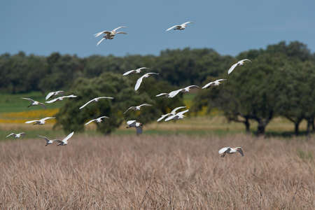 egrets: Cattle egrets in fligth with vegetation in the background