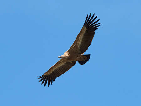 scavenger: Griffon vulture in flight with blue skies in the background