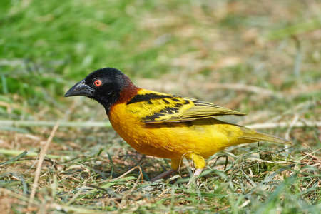 weaver: Village weaver standing on the ground in its habitat Stock Photo