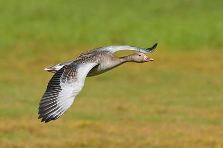 greylag: Greylag goose in flight with vegetation in the background Stock Photo