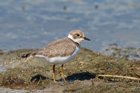 ringed: Little ringed plover standing in mud in its habitat Stock Photo