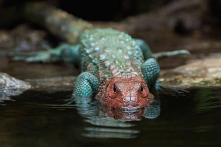 natural habitat: Northern caiman lizard in its natural habitat Stock Photo