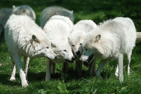Arctic wolfes standing in grass putting their heads together