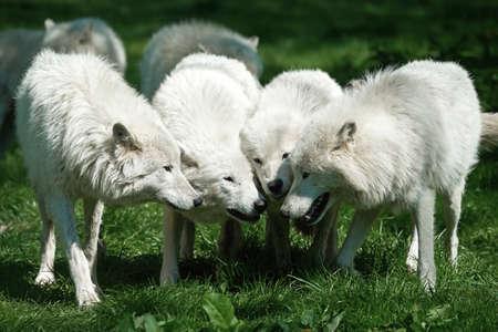 comunicar: wolfes árticas de pie en la hierba ponen sus cabezas juntas Foto de archivo