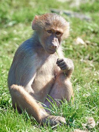 habitat: Hamadryas baboon sitting in grass in its habitat