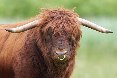 bull rings: Closeup portrait of a Scottish highland bull seen from the front Stock Photo
