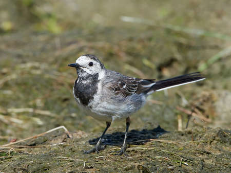 white wagtail: White wagtail standing on the ground in its habitat