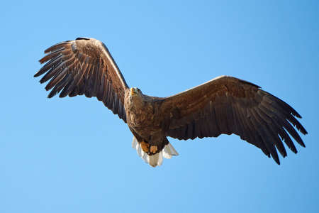 raptors: White-tailed eagle in flight with blue skies in the background Stock Photo