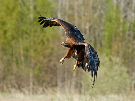 Golden eagle in flight with vegetation in the background
