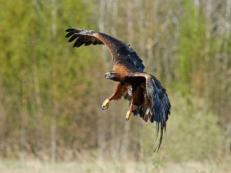 aguila real: Águila real en vuelo con la vegetación en el fondo