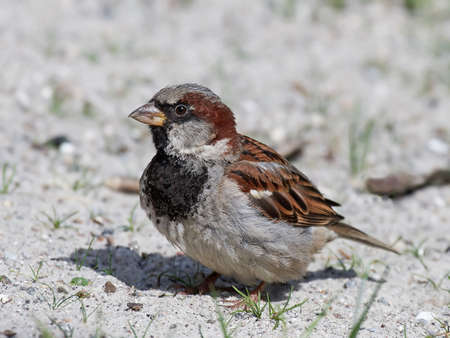 stitting: House sparrow stitting on the ground in sand resting Stock Photo