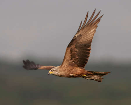 black kite: Black kite in flight with vegetation in the background