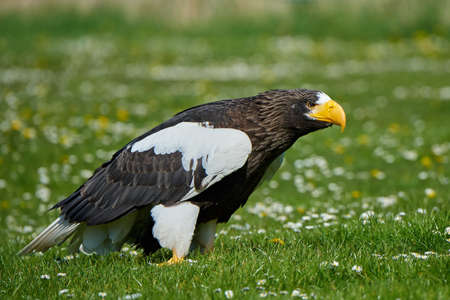 Stellers sea eagle standing in grass with vegetation in the background Stock Photo