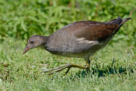 Juvenile common moorhen looking for food in grass