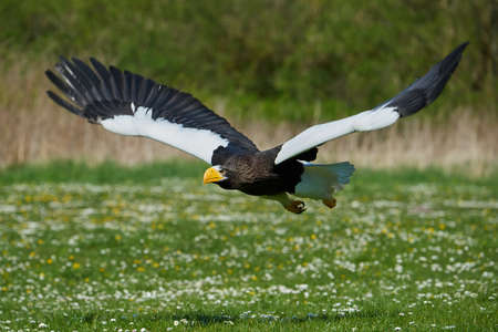 raptors: Stellers sea eagle in flight with vegetation in the background