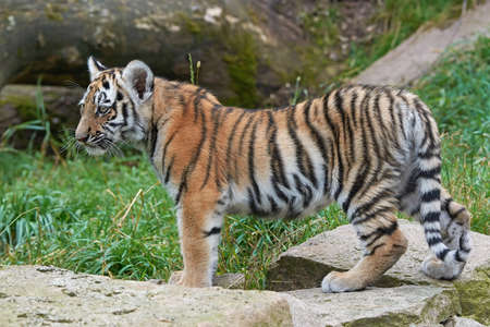 tigre cachorro: cachorro de tigre de Amur pie sobre las rocas con vegetación en el fondo