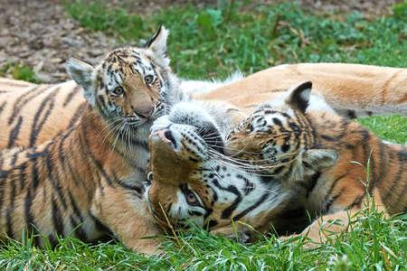 女性のアムール虎が小さな子熊草の再生します。