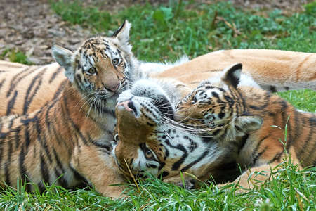 Female Amur Tiger plays in grass with her little cubs