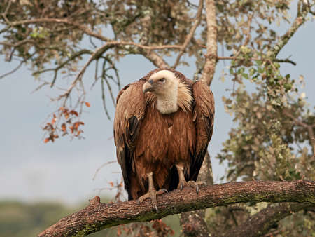 habitat: Griffon vulture resting on a branch in its habitat
