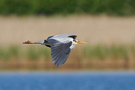 gray herons: Grey heron in flight with vegetation in the background