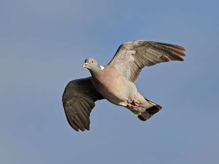 palombe commun en vol avec un ciel bleu en arrière-plan