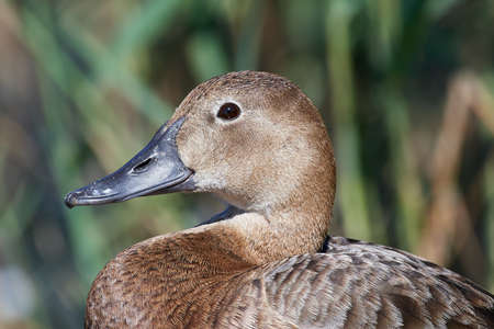 Closeup portrait of a common pochard with vegetation in the background Stock Photo