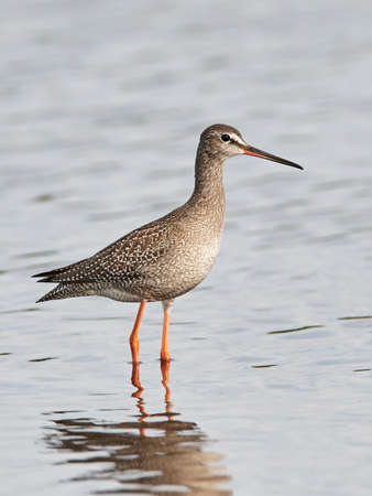 wader: Spotted redshank standing in water in its habitat