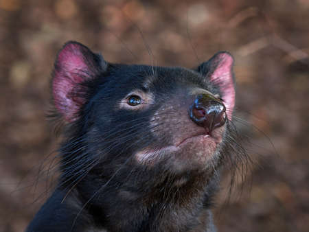Closeup portrait of the tasmanian devil with vegetaion in the background
