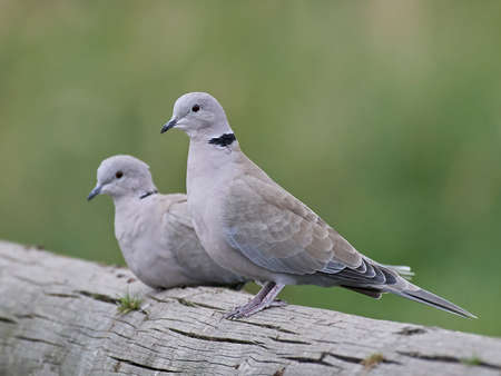 Eurasian collared dove sitting on a tree trunk with vegetation in the background
