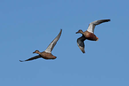 northern shoveler duck: Northern shovelers in flight with blue skies in the background