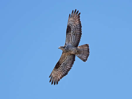 European honey buzzard in flight with blue skies in the background Stock Photo