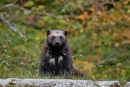 wolverine: Wolverine with vegetation in the background Stock Photo