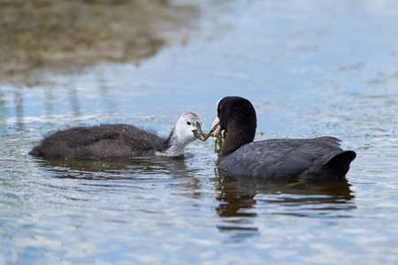 eurasian coot feeding her young in their natural habitat Stock Photo