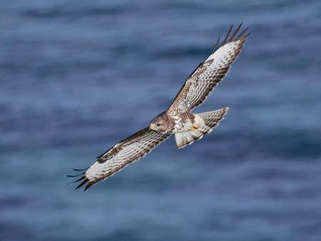 zopilote: Halcón común en vuelo con agua azul en el fondo