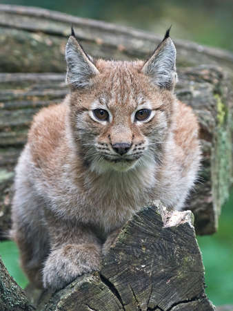 Juvenile eurasian lynx resting on a tree trunk with vegetation in the background