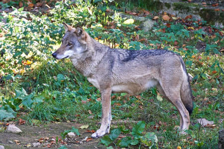 Grey wolf seen from the side with vegetation in the background Stock Photo