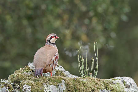habitat: Red-legged partridge standing on a rock in its habitat Stock Photo