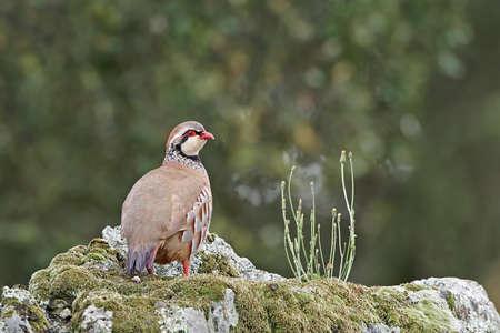 kuropatwa: Red-legged partridge standing on a rock in its habitat Zdjęcie Seryjne