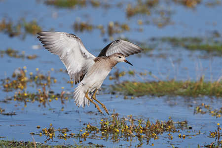 ruff: Ruff in flight with water and vegetation in the background