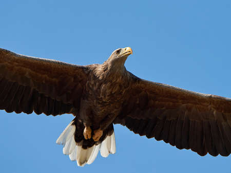 portait: Closeup of the white-tailed eagle in flight with blue skies in the background