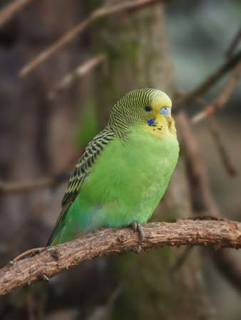 budgerigar: Green budgerigar resting on a branch with vegetation in the background