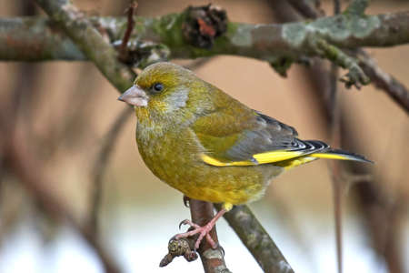 European greenfinch resting on a branch in its habitat